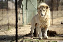【狩猟】南ア、狩猟用のライオン繁殖・飼育を禁止へ